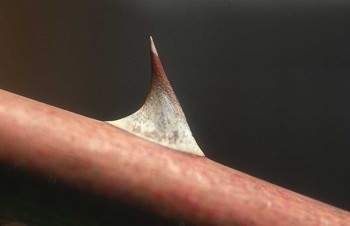 Photograph of a Thorn