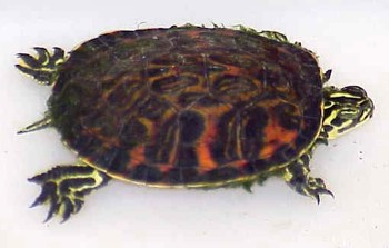 Cooter or Turtle