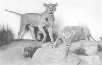 Field Museum diorama with Tsavo man-eating lions