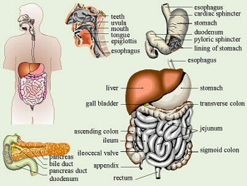 Graphic of the human digestive tract