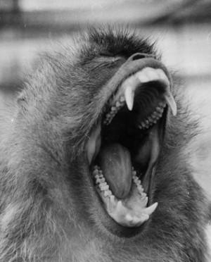 Vos Origines.. - Page 5 Macaque